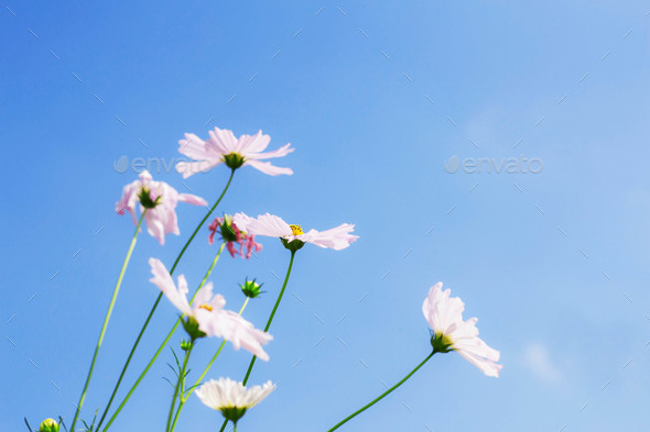 White cosmos with blue sky - Stock Photo - Images