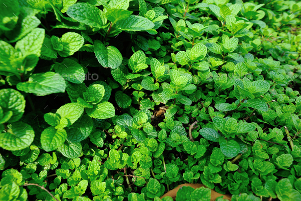 Mints plants in growth at garden - Stock Photo - Images