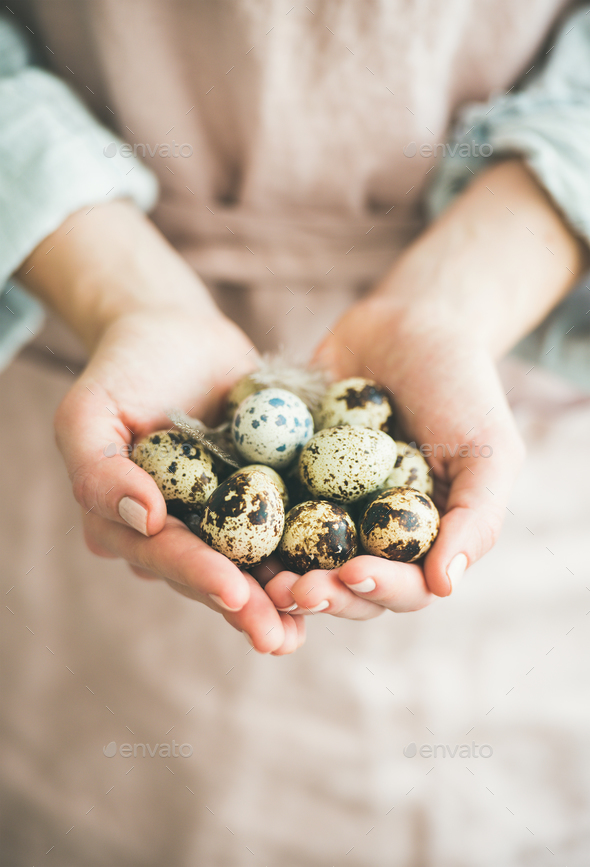 Natural colored quail eggs and feather in woman's hands, close-up - Stock Photo - Images