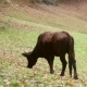 Dark Black Cow Eating Grass on Meadow Near Forest - VideoHive Item for Sale
