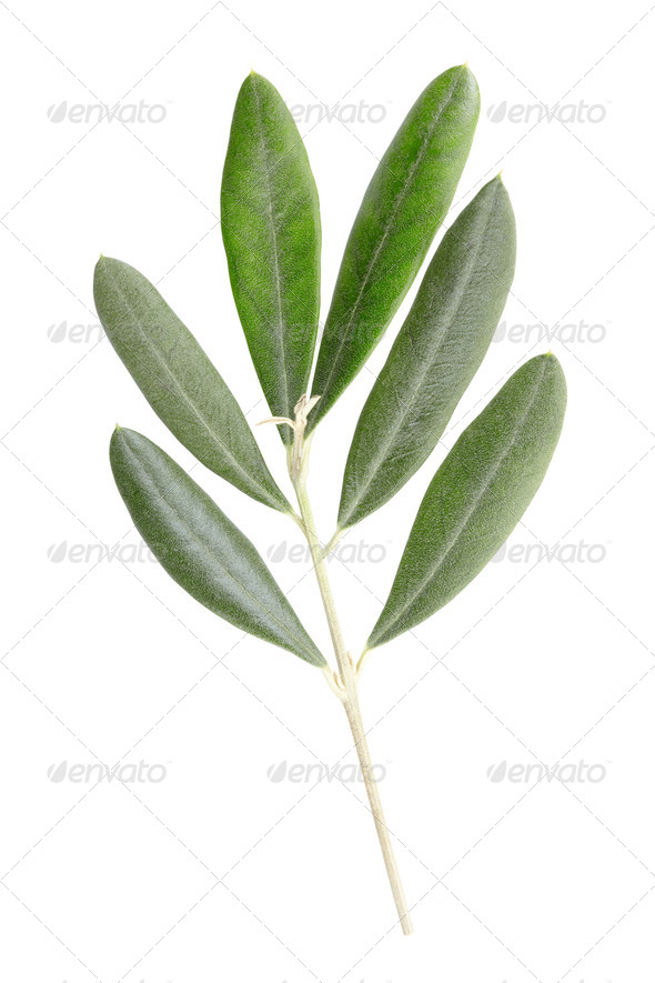 Olive Branch Leaves Isolated On White Stock Photo By Andreahast