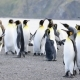 King Penguins at South Georgia - VideoHive Item for Sale