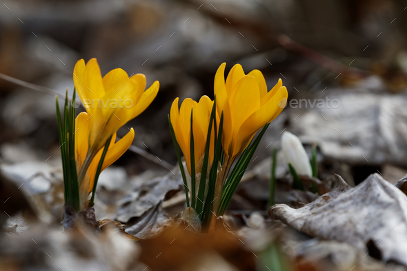 Crocuses close up in a sunny spring day (Crocus flavus) - Stock Photo - Images