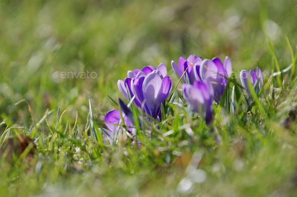 Crocuses close up in a sunny spring day (Crocus vernus) - Stock Photo - Images