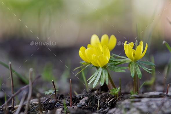 Wild winter aconite (Eranthis hyemalis) - Stock Photo - Images