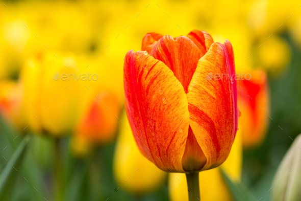 tulip blooming closeup in beautiful spring - Stock Photo - Images