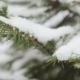 A Snow-covered Fir Tree Branch, Icy Snow Falls in the Forest - VideoHive Item for Sale