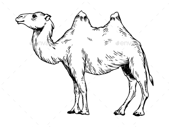 Camel Engraving Vector Illustration - Animals Characters