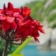 Branch of Red Blossom Plumeria Flowers Slightly Wiggle By Ocean Breeze. Defocused Coastline with - VideoHive Item for Sale