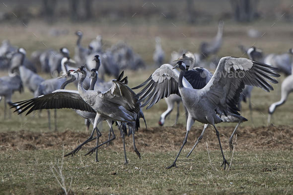 Common crane (Grus grus) - Stock Photo - Images