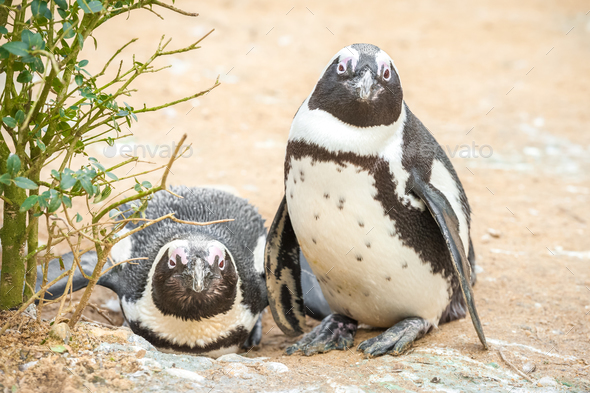 African penguins - Stock Photo - Images