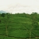 Aerial View of Green Tea Plantation - VideoHive Item for Sale