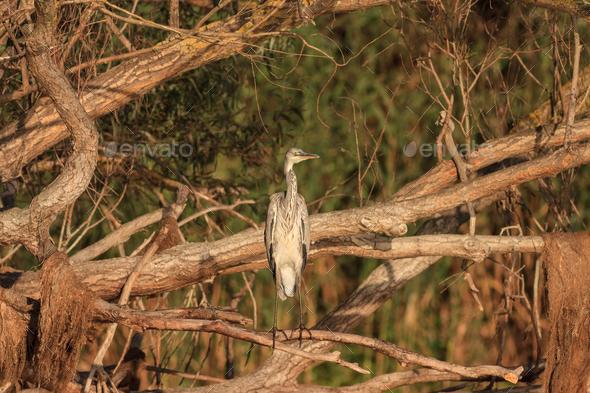 Grey Heron (Ardea cinerea) on branch tree - Stock Photo - Images