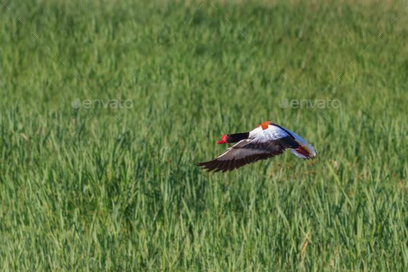 Common Shelduck (Tadorna tadorna) - Stock Photo - Images