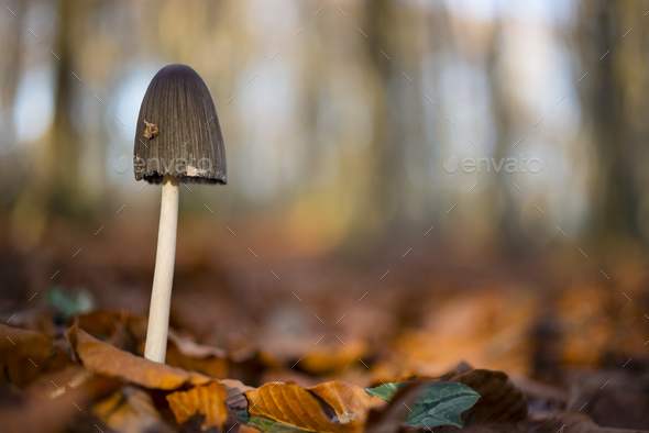 Mushroom with black cap. - Stock Photo - Images