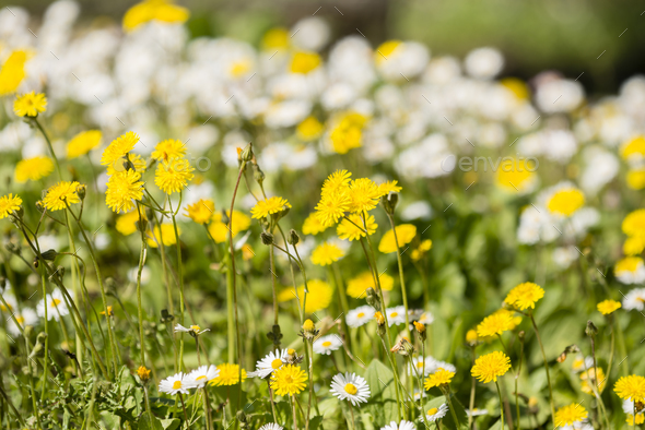 Green grass with yellow dandelion and white daisy flowers - Stock Photo - Images