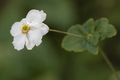 Chinese or Japanese anemones, thimbleweed, or windflower - PhotoDune Item for Sale