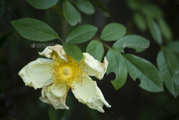 withering wild rose flowers - Stock Photo - Images