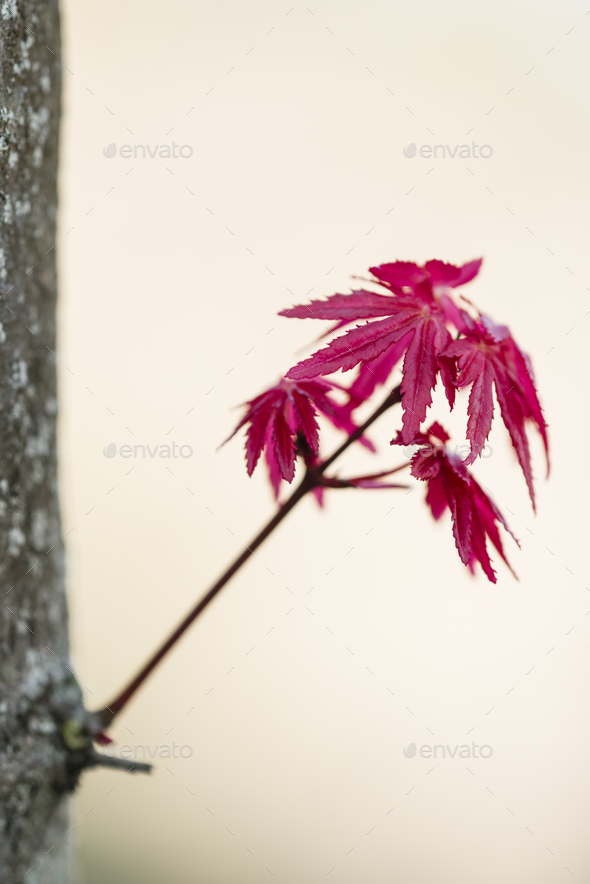 Red leaves of Japanese maple Acer palmatum - Stock Photo - Images