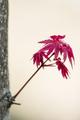Red leaves of Japanese maple Acer palmatum - PhotoDune Item for Sale