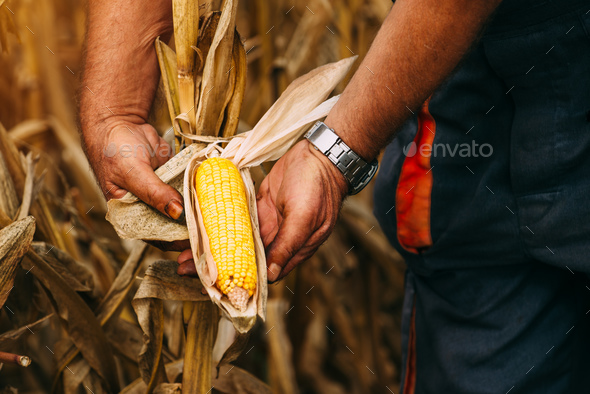 Farmer agronomist holding corn ear on the cob - Stock Photo - Images
