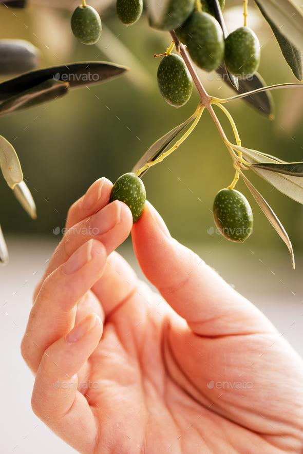 Female hand picking ripe olive fruit - Stock Photo - Images