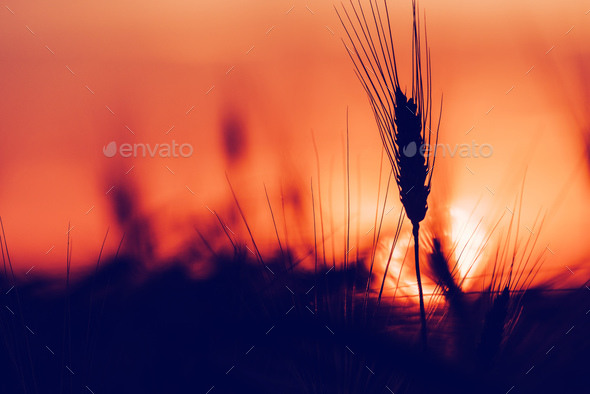Silhouette of wheat ears in sunset - Stock Photo - Images
