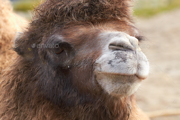 Bactrian camel (Camelus bactrianus) - Stock Photo - Images