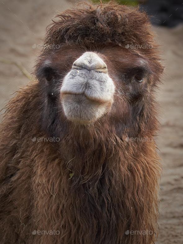 Bactrian camel (Camelus bactrianus) - Stock Photo - Images