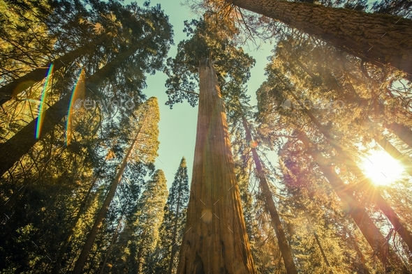 Sequoia National Park Grove - Stock Photo - Images
