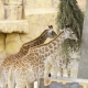 Pair of Giraffes Eat Green Branches at the Zoo, Animals in the Safari Park - VideoHive Item for Sale