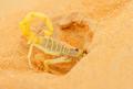 Arabian Scorpion Digging a Burrow - PhotoDune Item for Sale