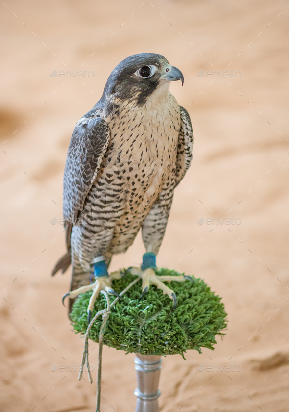 Arabian Falcon on its Perch - Stock Photo - Images