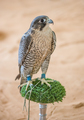 Arabian Falcon on its Perch - PhotoDune Item for Sale