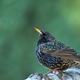 Starling (Sturnus vulgaris) in early spring - PhotoDune Item for Sale