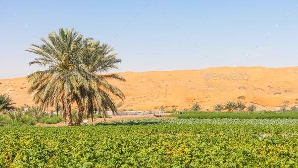 Desert Farm Near Al Ain in the UAE - Stock Photo - Images