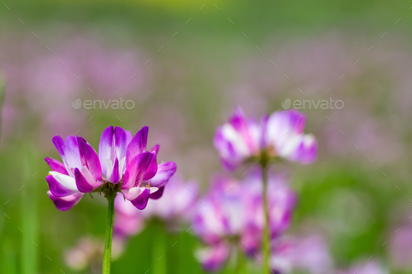 astragalus sinicus closeup - Stock Photo - Images