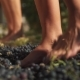 Two Pair of Female Feet Stomps Grapes at Winery Making Wine - VideoHive Item for Sale