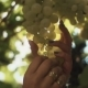 Female Hands Touching Bunch of Grapes Hanging on Stem at Vineyard - VideoHive Item for Sale