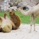 Camels Play Together on the Sand and Have a Rest, Animals in the Zoo, Camels in the Tropical Park - VideoHive Item for Sale