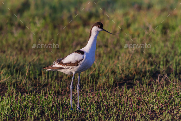 Pied Avocet (Recurvirostra avosetta) - Stock Photo - Images