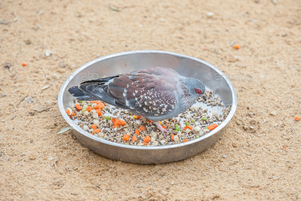 speckled rock pigeon - Stock Photo - Images