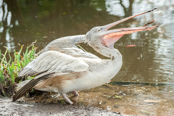 pelican - Stock Photo - Images