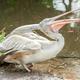 pelican - PhotoDune Item for Sale