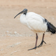 sacred ibis - PhotoDune Item for Sale