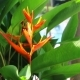 Bird of Paradise Flower Heliconia Exotic Tropical Flowers and Close Relative of the Banana Family - VideoHive Item for Sale