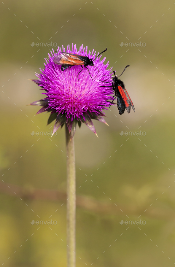 Summer, nature concept - insects on a purple flower - Stock Photo - Images