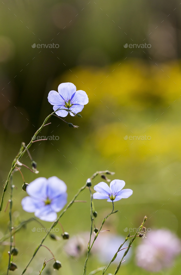 Summertime concept - blue flax flowers - Stock Photo - Images