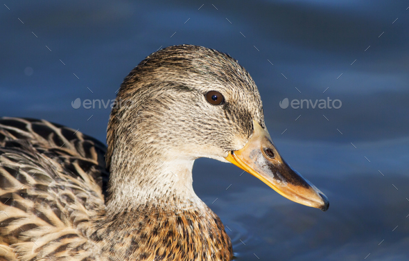 Funny duck close-up - Stock Photo - Images