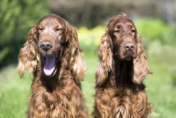 Happy Irish Setter dogs - Stock Photo - Images
